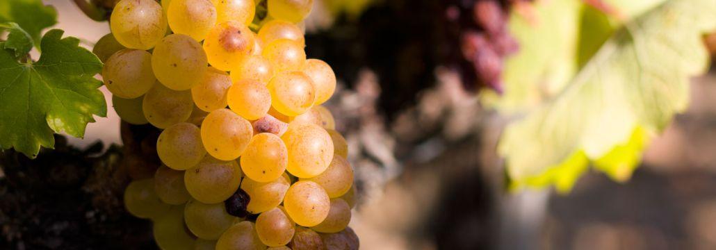 furmint grape